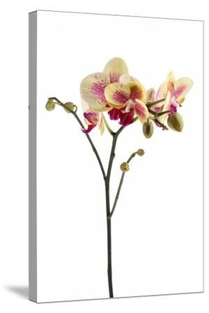 Phalaenopsis Ibrid1-Fabio Petroni-Stretched Canvas Print