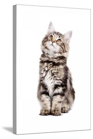 Norwegian Forest Cat-Fabio Petroni-Stretched Canvas Print