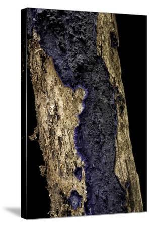 Terana Caerulea (Cobalt Crust, Velvet Blue Spread)-Paul Starosta-Stretched Canvas Print