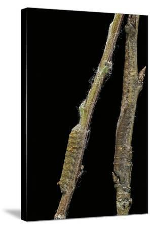 Gastropacha Quercifolia (Lappet Moth) - Caterpillars Camouflaged on Twigs-Paul Starosta-Stretched Canvas Print