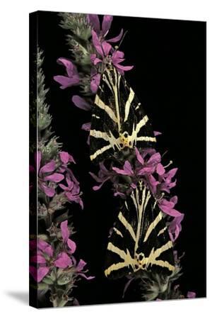 Euplagia Quadripunctaria (Jersey Tiger Moth)-Paul Starosta-Stretched Canvas Print