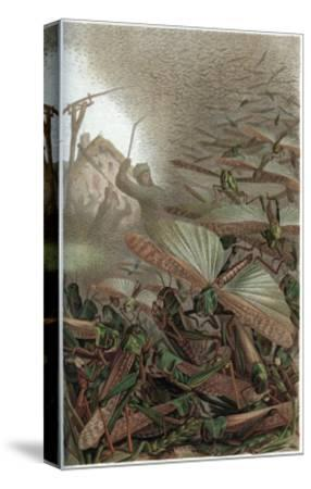 The Migratory Locust by Alfred Edmund Brehm-Stefano Bianchetti-Stretched Canvas Print