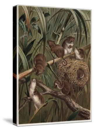 Eurasian Harvest Mouse by Alfred Edmund Brehm-Stefano Bianchetti-Stretched Canvas Print