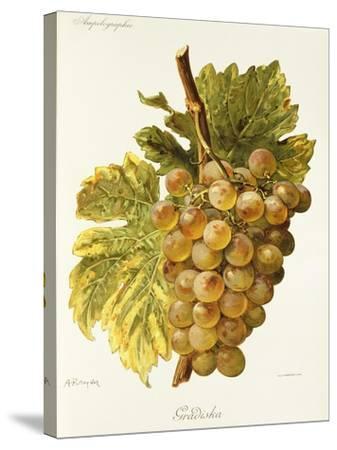 Gradiska Grape-A. Kreyder-Stretched Canvas Print