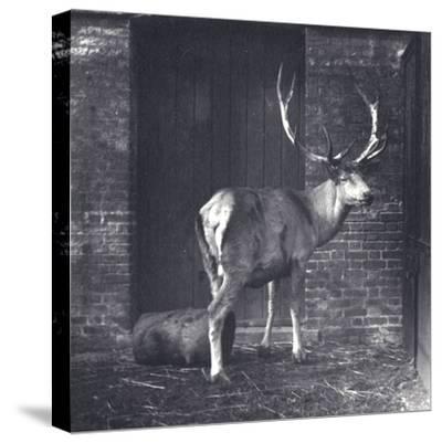 Wallich's Deer-Frederick William Bond-Stretched Canvas Print