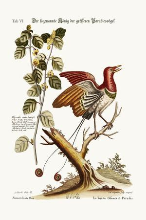 The Supposed King of the Greater Birds of Paradise, 1749-73-George Edwards-Stretched Canvas Print