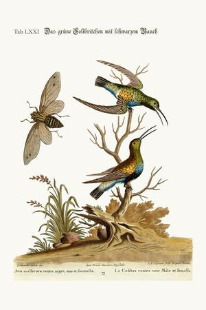 The Black-Bellied Green Hummingbird, 1749-73-George Edwards-Stretched Canvas Print