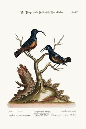 The Purple Indian Creepers, 1749-73-George Edwards-Stretched Canvas Print