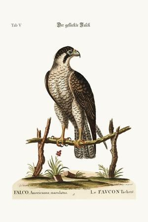 The Spotted Hawk or Falcon, 1749-73-George Edwards-Stretched Canvas Print