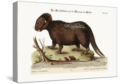 The Porcupine from Hudson's Bay, 1749-73-George Edwards-Stretched Canvas Print