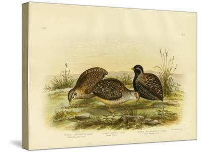 Chestnut-Backed Turnix, 1891-Gracius Broinowski-Stretched Canvas Print