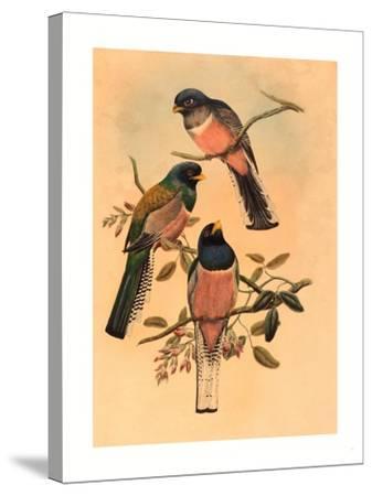 Trogan Variegatus, Probably 1836-1838- Gould & Hart-Stretched Canvas Print