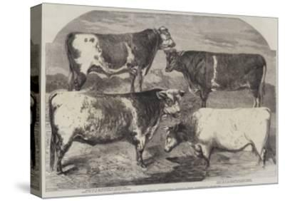 Prize Shorthorns at the Royal Agricultural Society's Show, Canterbury-Harrison William Weir-Stretched Canvas Print