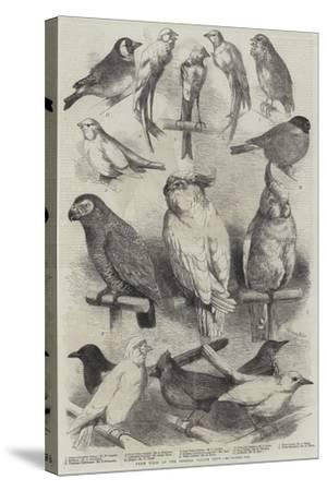 Prize Birds at the Crystal Palace Show-Harrison William Weir-Stretched Canvas Print