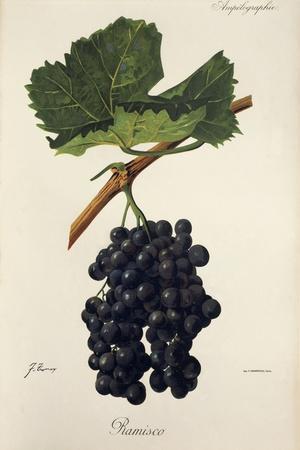 Ramisco Grape-J. Troncy-Stretched Canvas Print