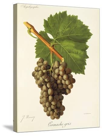 Grenache Gris Grape-J. Troncy-Stretched Canvas Print