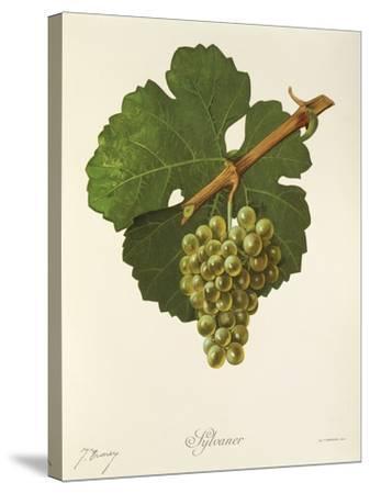 Sylvaner Grape-J. Troncy-Stretched Canvas Print