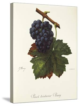 Pinot Teinturier Bury Grape-J. Troncy-Stretched Canvas Print