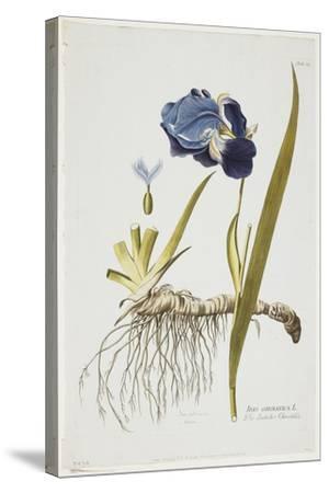 Iris Germanica, from Icones Plantarum Medicinalium, 1788-1812-Joseph Jacob Plenck-Stretched Canvas Print