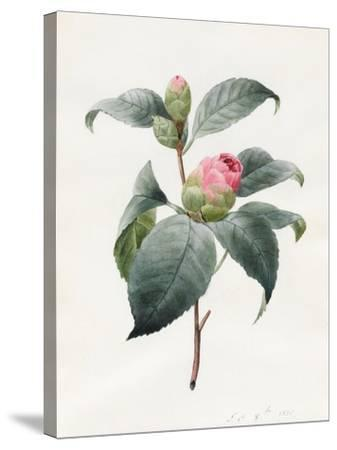 Camellia, 1826-Louise D'Orleans-Stretched Canvas Print