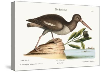 The Oyster Catcher, 1749-73-Mark Catesby-Stretched Canvas Print