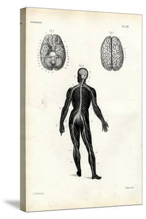 Brain, 1863-79-Raimundo Petraroja-Stretched Canvas Print