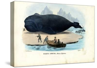 Bowhead Whale, 1863-79-Raimundo Petraroja-Stretched Canvas Print