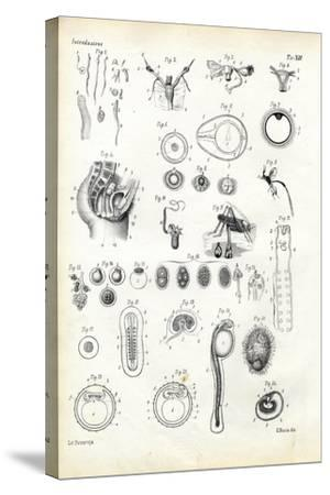 Reproductive Organ, 1863-79-Raimundo Petraroja-Stretched Canvas Print