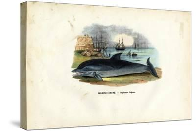 Common Dolphin, 1863-79-Raimundo Petraroja-Stretched Canvas Print