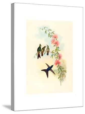Ramphomicron Microrhyncha (Small Billed Thornbill), Colored Lithograph- Richter & Gould-Stretched Canvas Print