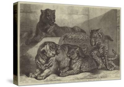 Leopards and Tigress Lately Added to the Zoological Society's Collection, Regent's Park-Samuel John Carter-Stretched Canvas Print