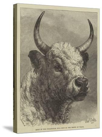 Head of the Chillingham Bull Shot by the Prince of Wales-Samuel John Carter-Stretched Canvas Print