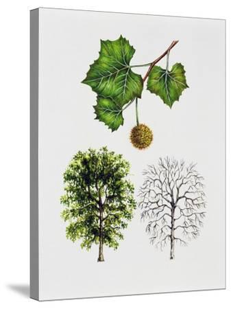 American Sycamore--Stretched Canvas Print