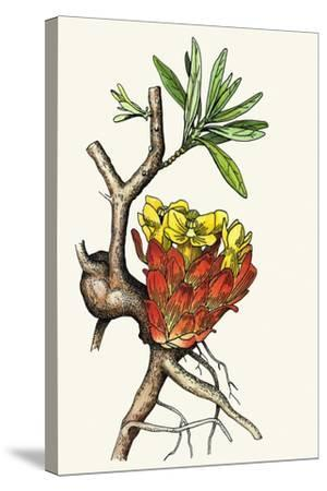 Illustration Representing Cytinus Hypocistis--Stretched Canvas Print