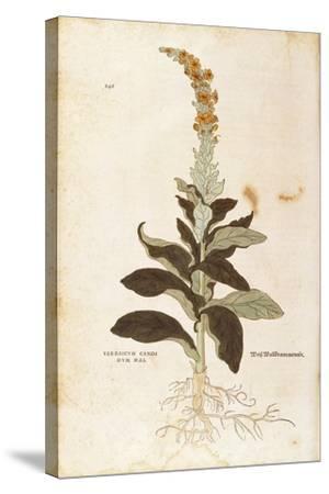 Mullein - Verbascum Thapsus (Verbasco Candidum Mas) by Leonhart Fuchs from De Historia Stirpium Com--Stretched Canvas Print