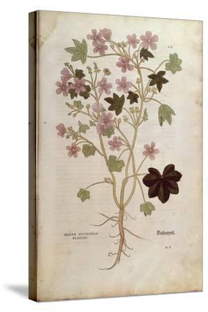 Mallow (Malva Sylvestris Elatior) by Leonhart Fuchs from De Historia Stirpium Commentarii Insignes--Stretched Canvas Print