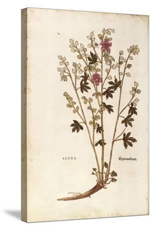 Marshmallow - Althaea by Leonhart Fuchs from De Historia Stirpium Commentarii Insignes (Notable Com--Stretched Canvas Print