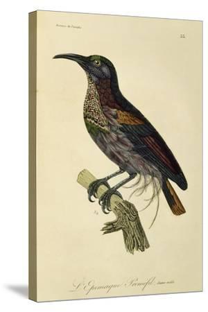 Paradise Riflebird Young Male (Ptiloris Paradiseus)--Stretched Canvas Print