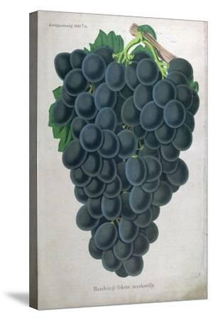 Wine Grapes--Stretched Canvas Print