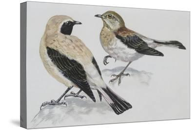 Zoology: Birds, Black-Eared Wheatear (Oenanthe Hispanica), Male and Female--Stretched Canvas Print