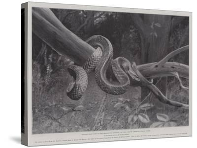 Studies from Life at the Zoological Gardens, South American Corais Snake--Stretched Canvas Print