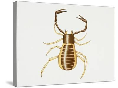 Pseudoscorpion (Chelifer Cancroides), Arachnida, Artwork by Rebecca Hardy--Stretched Canvas Print