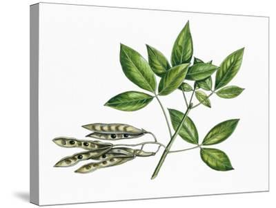 Botany, Trees, Fabaceae, Trifoliate Leaves and Fruits of Common Laburnum Laburnum Anagyroides--Stretched Canvas Print
