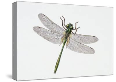 Downy Emerald Dragonfly (Cordulia Aenea), Corduliidae. Artwork by Sandra Pond--Stretched Canvas Print