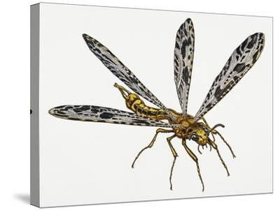Giant Ant Lion (Palpares Libelluloides), Myrmeleonidae. Artwork by Neil Lloyd--Stretched Canvas Print
