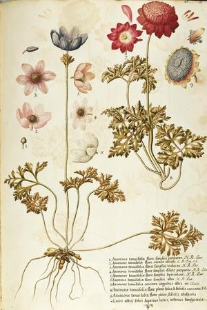 Wind Flower (Anemone Pavonina), Ranunculaceae by Francesco Peyrolery, Watercolour, 1753--Stretched Canvas Print