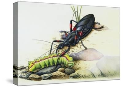 Assassin Bug (Rhynocoris Sp), Reduviidae, with Caterpillar. Artwork by Colin Newman--Stretched Canvas Print