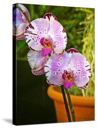 New Orchid Phalaenopsis 'Diamond Sky' on Display at the Kew Orchid Festival, Kew Gardens, London--Stretched Canvas Print