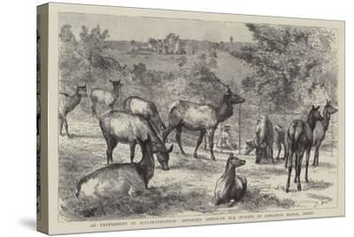 Imported American Elk, Wapiti, at Osmaston Manor, Derby--Stretched Canvas Print