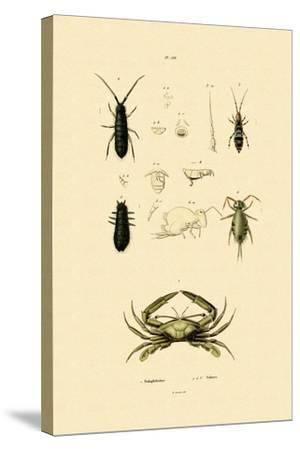 Sentinel Crab, 1833-39--Stretched Canvas Print